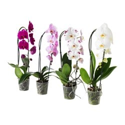 PHALAENOPSIS potted plant, Orchid, cascade 1 stem
