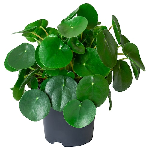 IKEA PILEA PEPEROMIOIDES Potted plant