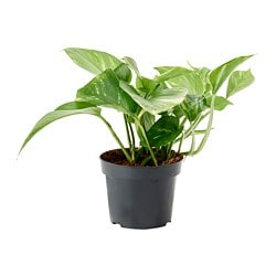 SCINDAPSUS potted plant, Golden Pothos