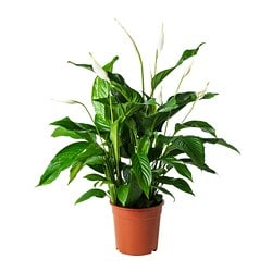 SPATHIPHYLLUM potted plant, Peace lily