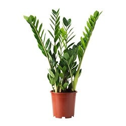 ZAMIOCULCAS potted plant, Aroid palm