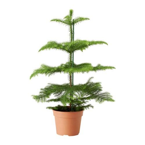 Araucaria plante en pot ikea for Plante interieur ikea
