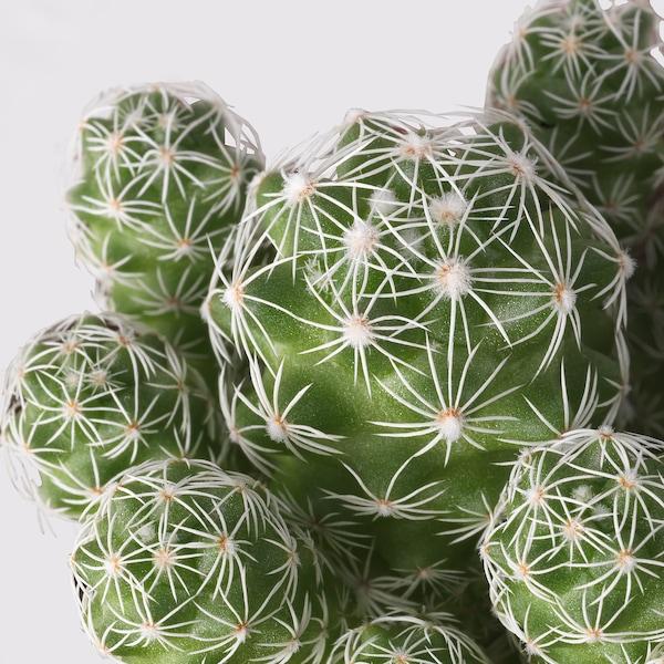 CACTACEAE Plante en pot, diverses espèces, 17 cm