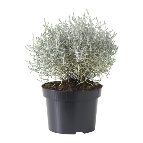 calocephalus brownii plante en pot ikea. Black Bedroom Furniture Sets. Home Design Ideas