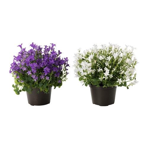 Campanula portenschlagiana plante en pot ikea for Ikea plantes d interieur