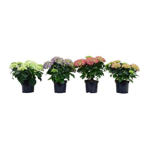 Hydrangea plante en pot ikea for Plante exterieur ikea