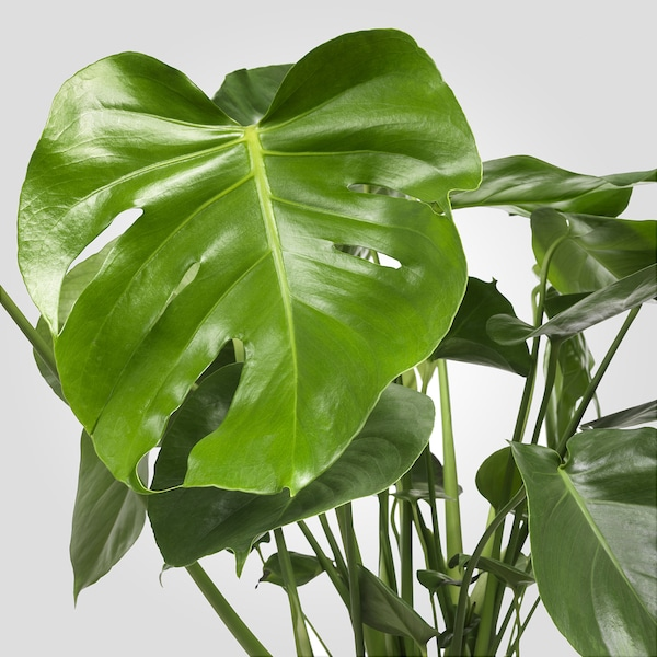 MONSTERA Plante en pot, Monstera deliciosa « faux philo », 21 cm