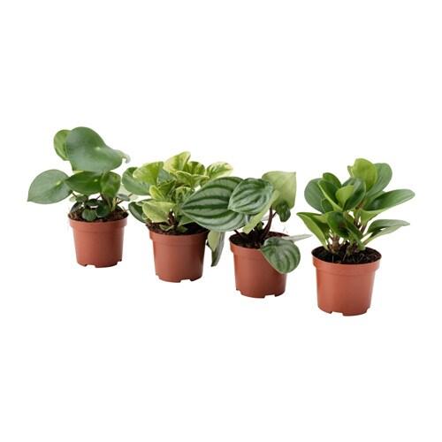 Peperomia plante en pot ikea for Plante interieur ikea