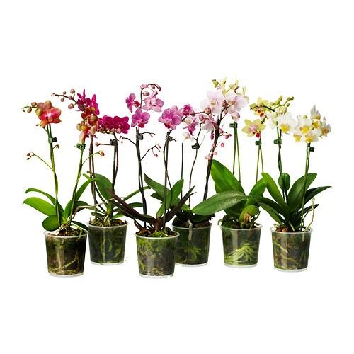 phalaenopsis plante en pot ikea. Black Bedroom Furniture Sets. Home Design Ideas