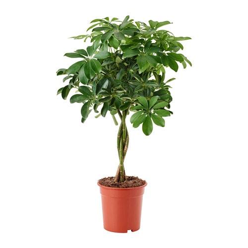 schefflera arboricola plante en pot ikea. Black Bedroom Furniture Sets. Home Design Ideas