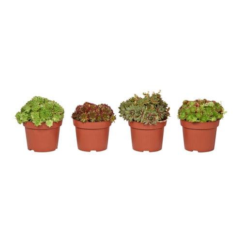 sempervivum plante en pot ikea. Black Bedroom Furniture Sets. Home Design Ideas