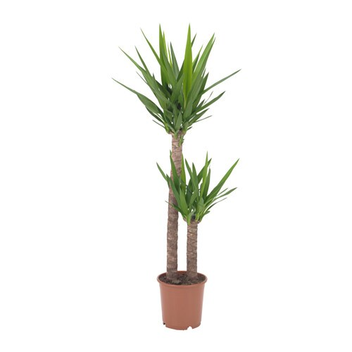 Yucca elephantipes plante en pot ikea - Ikea plante interieur ...