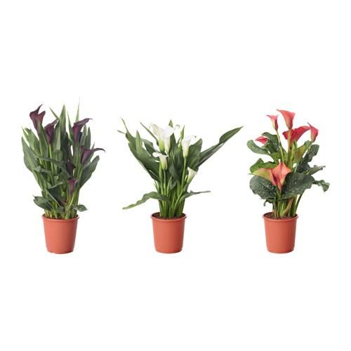 zantedeschia plante en pot ikea. Black Bedroom Furniture Sets. Home Design Ideas