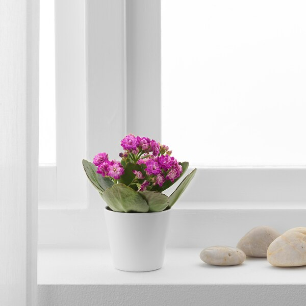 KALANCHOE Pianta con vaso, Kalanchoe colori vari, 6 cm