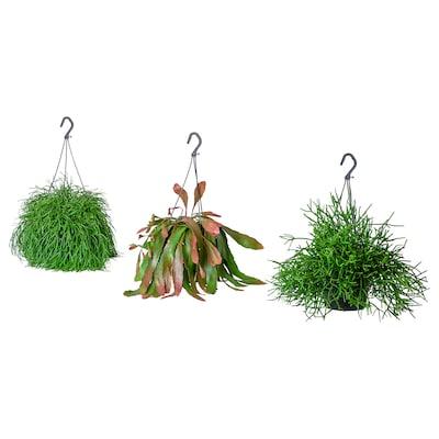 RHIPSALIS Pianta da vaso, Mistletoe cactus specie varie, 17 cm
