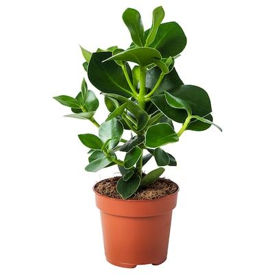 CLUSIA rostlina 12 cm 30 cm