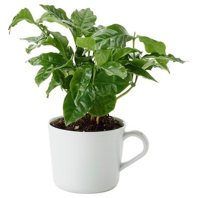 COFFEA ARABICA Rostlina v květináči a hrnek, kávovník, 9 cm