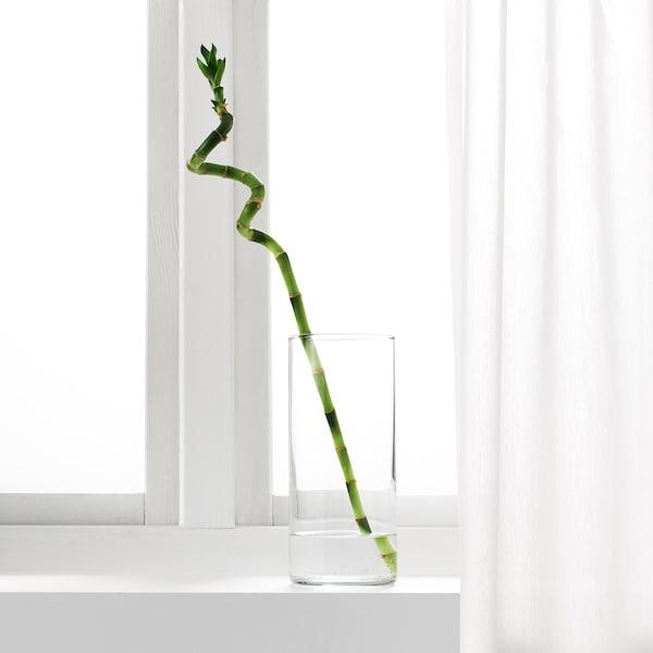 DRACAENA Rostlina, Lucky bamboo/spirálové, 45 cm