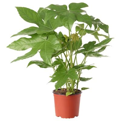 FATSIA JAPONICA rostlina arálie 17 cm 53 cm