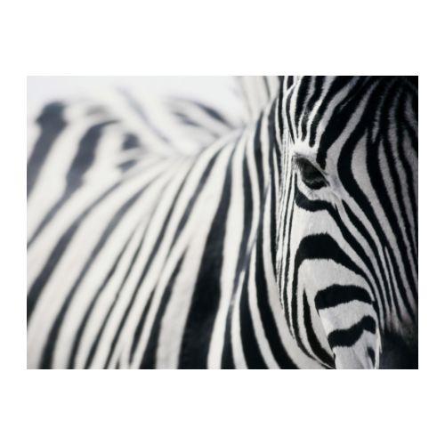 PJÄTTERYD Obraz, zebra Šířka: 118 cm Výška: 78 cm