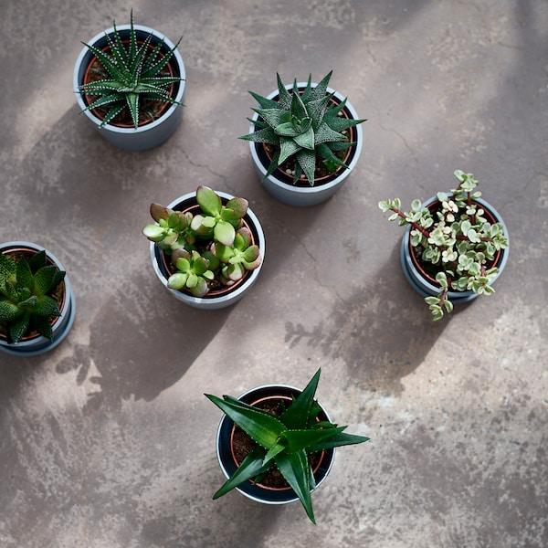 SUCCULENT Rostlina, různé druhy, 9 cm