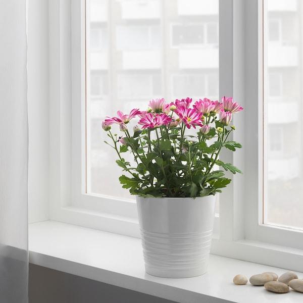 CHRYSANTHEMUM Pflanze, Chrysantheme versch. Farben, 14 cm