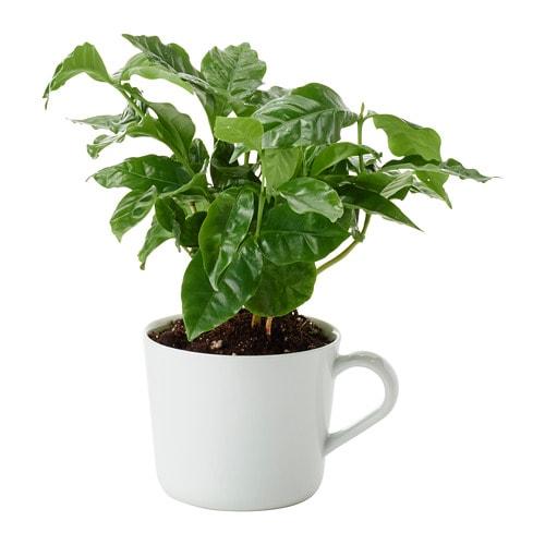 coffea arabica pflanze im becher ikea. Black Bedroom Furniture Sets. Home Design Ideas