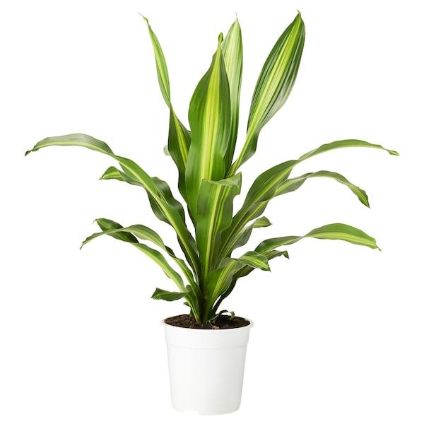 DRACAENA BURLEY Pflanze, 24 cm