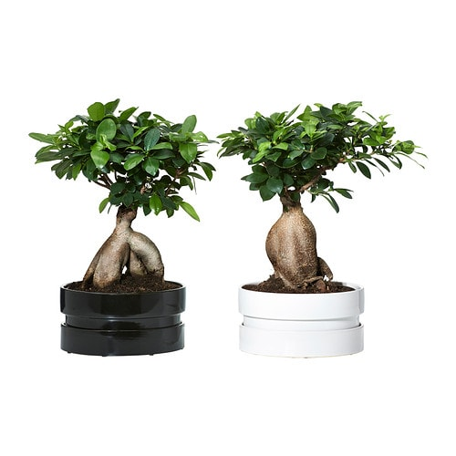 Potted Ficus Microcarpa Ginseng Plant