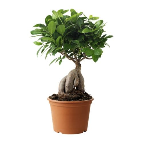 ficus microcarpa bonsai pflanzen botanik green24. Black Bedroom Furniture Sets. Home Design Ideas