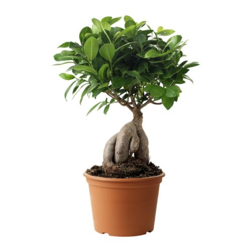 ficus microcarpa bonsai pflanzen botanik green24 hilfe pflege bilder. Black Bedroom Furniture Sets. Home Design Ideas