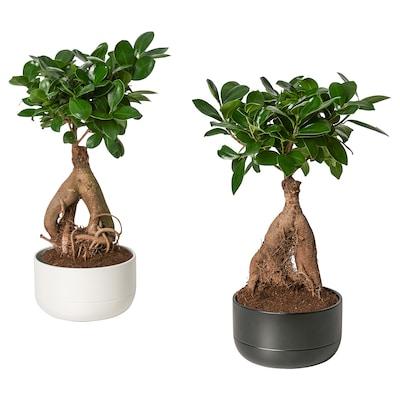 FICUS MICROCARPA GINSENG Pflanze mit Übertopf Bonsai/versch. Farben 14 cm 30 cm