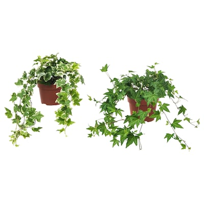 HEDERA HELIX Pflanze, Efeu, 13 cm