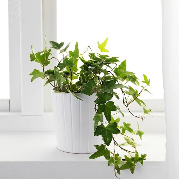HEDERA HELIX Pflanze Efeu 13 cm 35 cm
