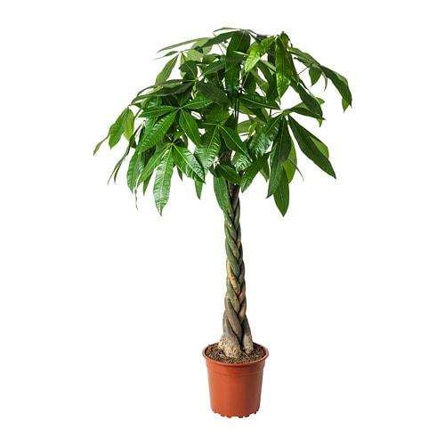 Pachira Aquatica Pflanze Ikea