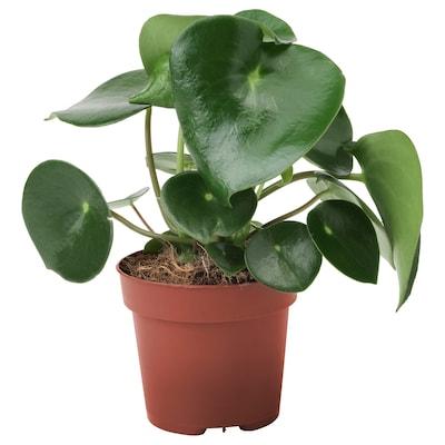 PEPEROMIA POLYBOTRYA Pflanze 12 cm 23 cm