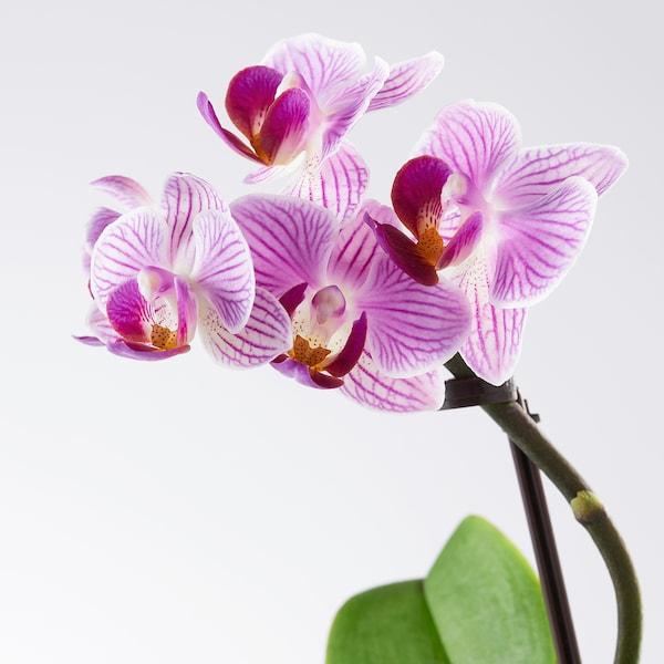 PHALAENOPSIS Pflanze mit Übertopf, Orchidee/versch. Farben, 6 cm
