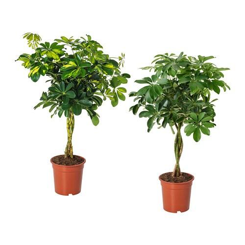 schefflera arboricola pflanze ikea