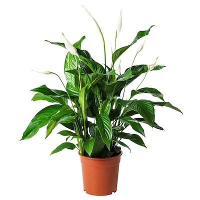 SPATHIPHYLLUM Pflanze, Einblatt, 24 cm