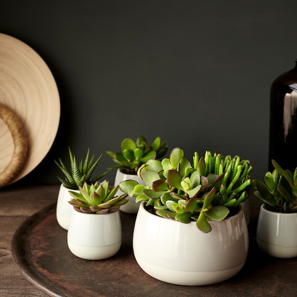 SUCCULENT Pflanze mit Übertopf, grau, 12 cm