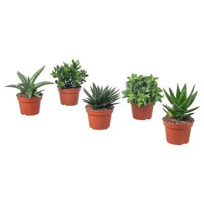 SUCCULENT Pflanze, versch. Arten, 15 cm