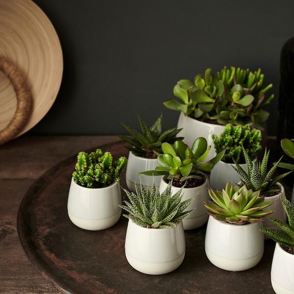 SUCCULENT Pflanze mit Übertopf grau 6 cm 7 cm