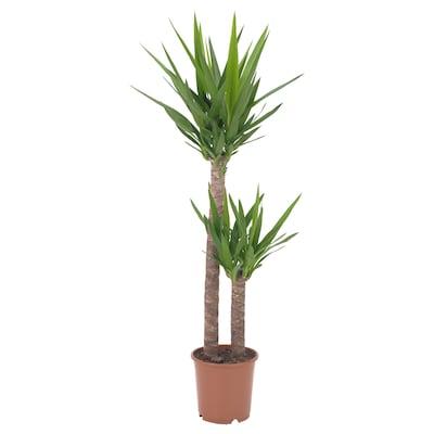 YUCCA ELEPHANTIPES Pflanze, Palmlilie/2 Stämme, 24 cm