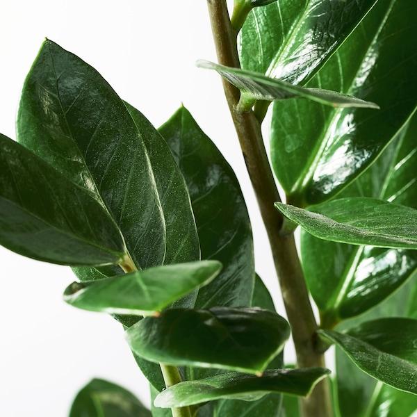 ZAMIOCULCAS Pflanze, Zamioculcas, 17 cm