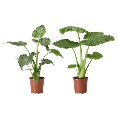 ALOCASIA Plante, Elefantøre/forskellige slags, 19 cm