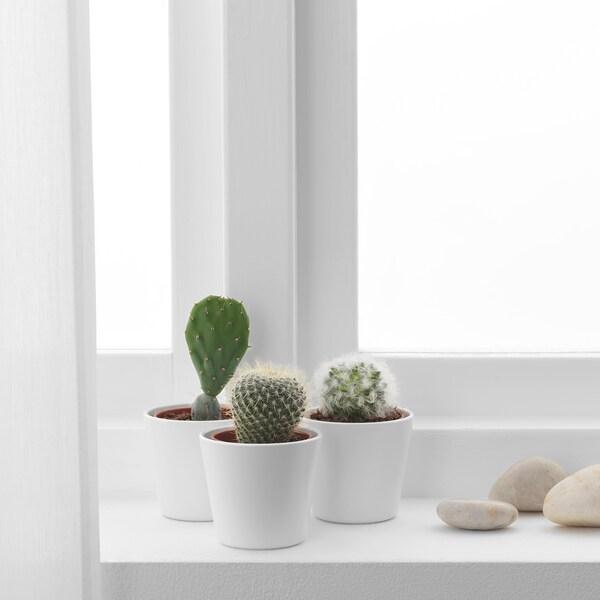CACTACEAE Potteplante med urtepotte, kaktus/forskellige slags, 6 cm 3 stk