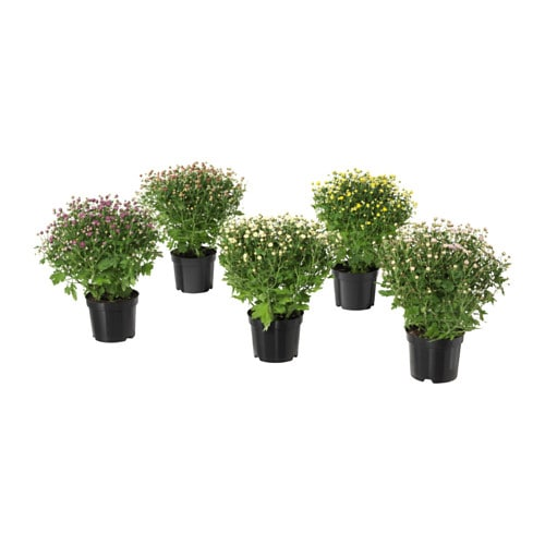 Chrysanthemum plante ikea for Ikea fausse plante