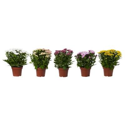 CHRYSANTHEMUM Plante, Krysantemum forskellige farver, 14 cm