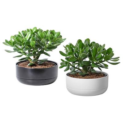 CRASSULA Potteplante med urtepotte, Paradistræ, 22 cm