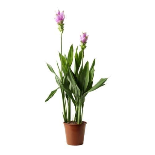 M bler boligindretning og inspiration til hele hjemmet ikea - Planter du curcuma ...